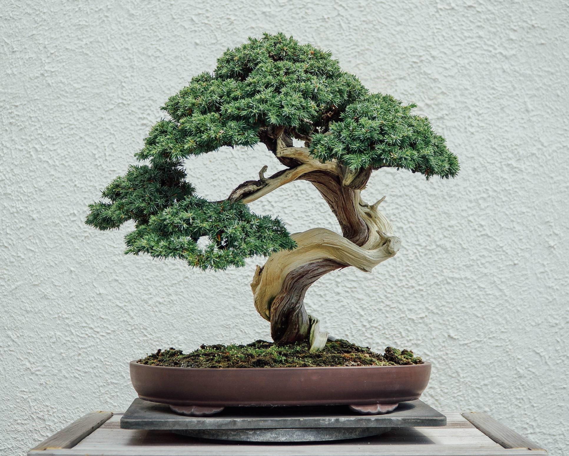 Le bonsaï est l'art de rapetisser un arbre ordinaire pour créer une représentation miniature parfaite dans un petit pot.
