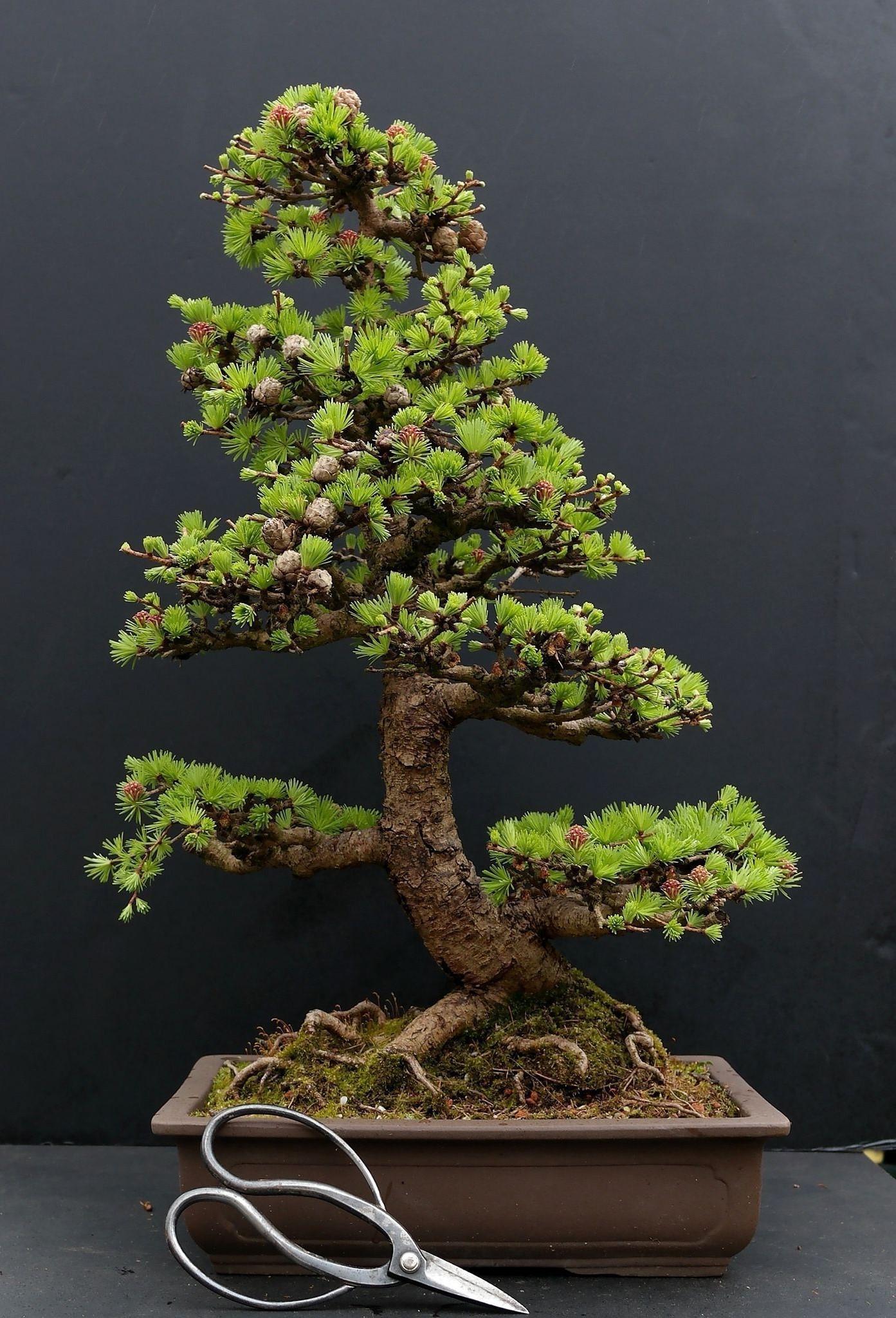La croissance de l'arbre est limitée par des années d'élagage, de tressage, de rempotage et de greffage.