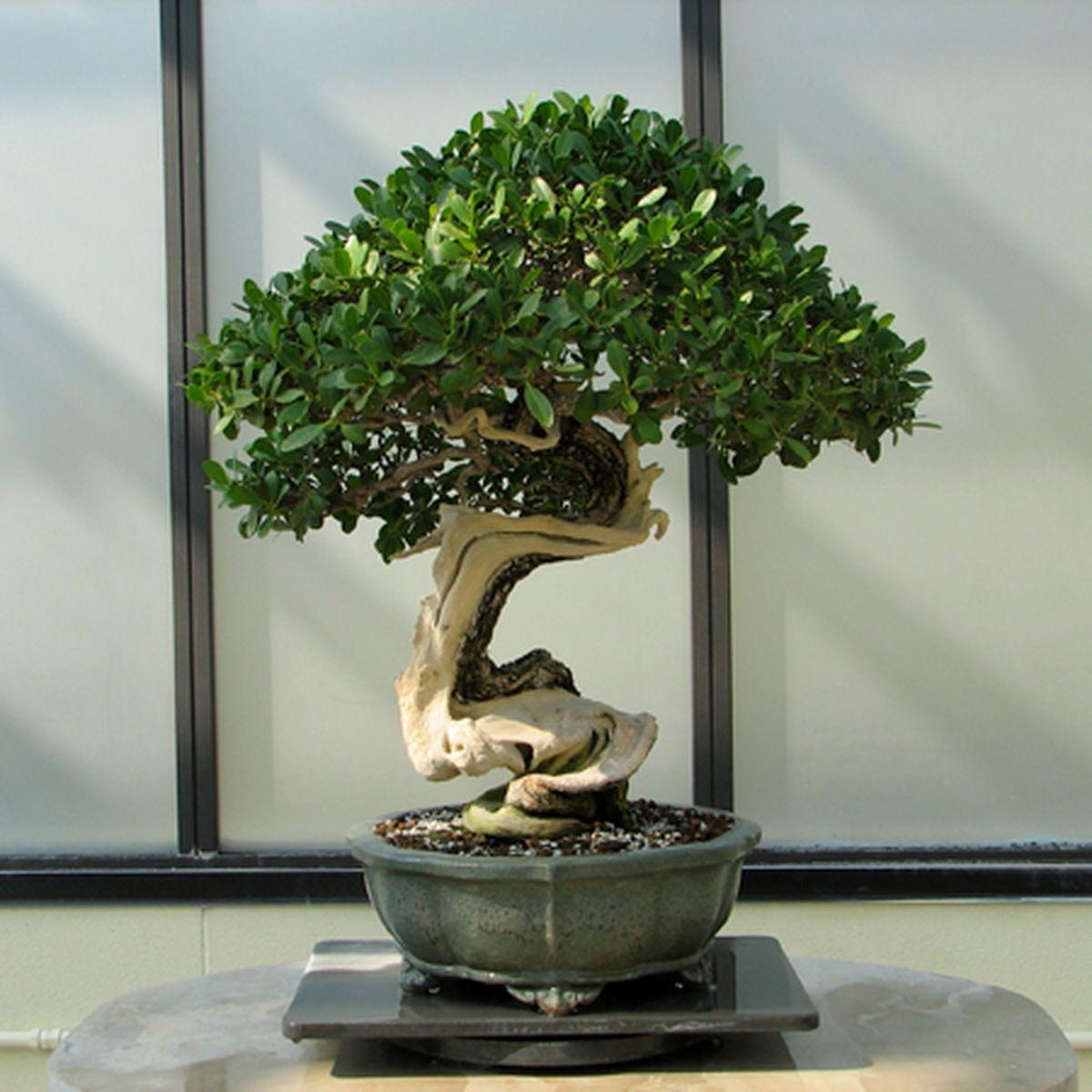 Les bonsaï sont souvent pliés et tordus, positionnés autour des rochers ou même placés avec d'autres arbres pour simuler une minuscule forêt.