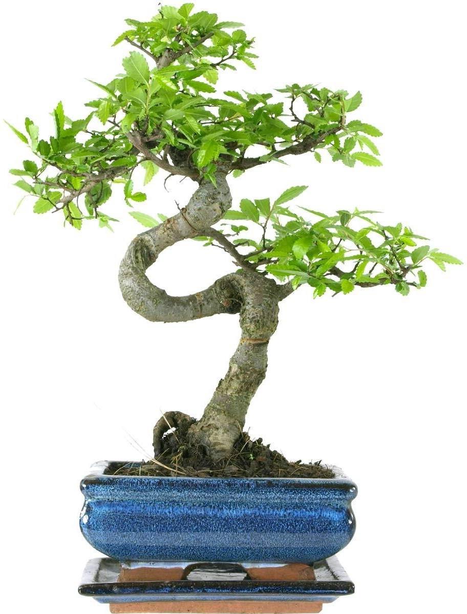 Toute erreur commise peut entraîner la destruction permanente de la forme ou même la mort d'une plante qui pousse depuis des siècles.