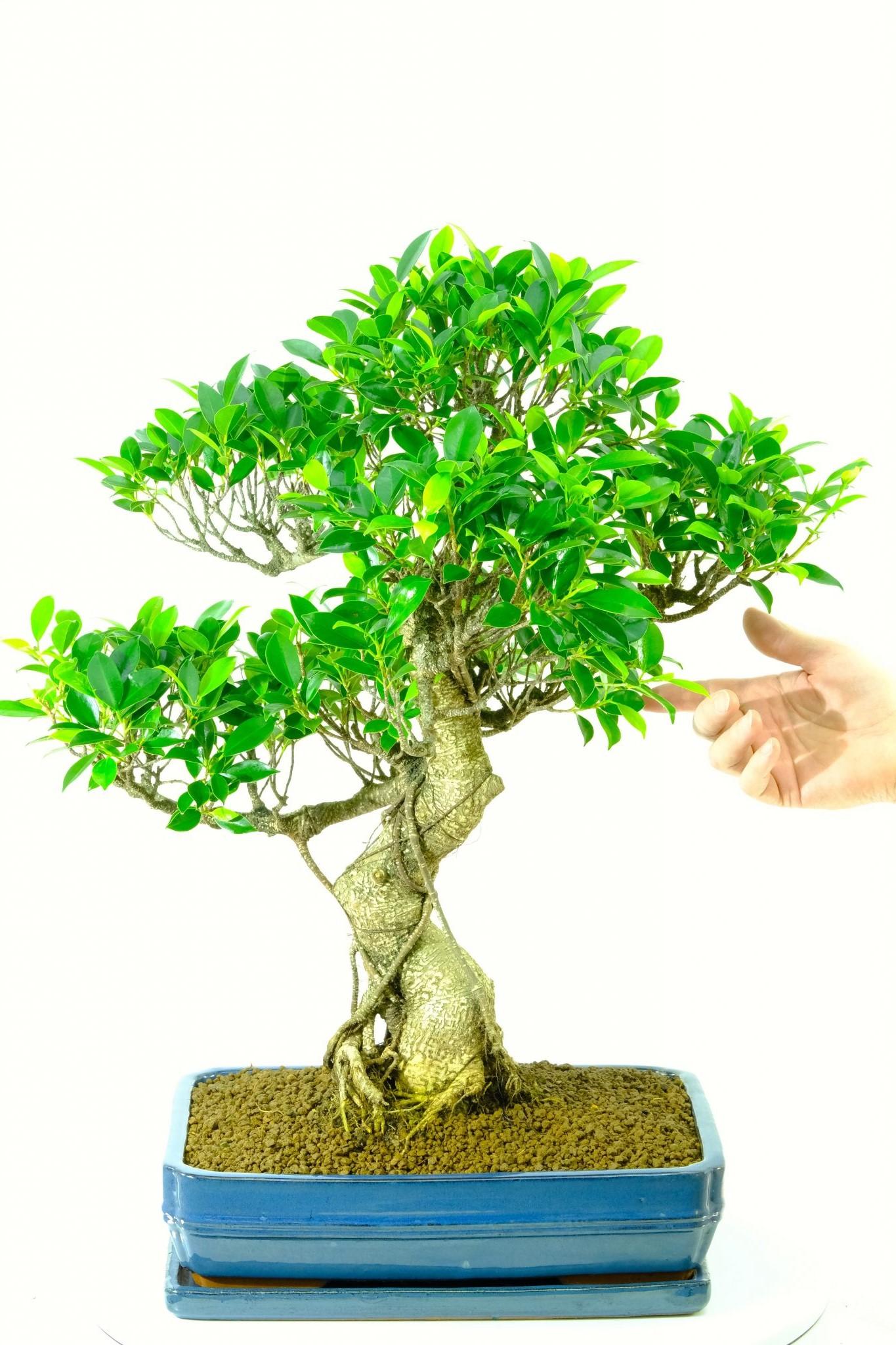 Le temps et le dévouement requis par ce processus ne ressemblent à presque aucune autre forme d'illustration, donc le prix d'un bonsaï varie en fonction de sa qualité.