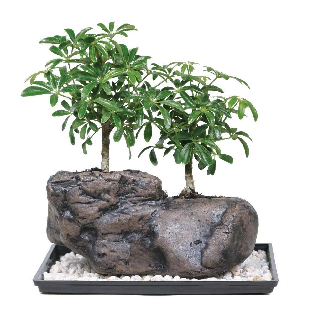 Mais quel est le prix d'un bonsaï?