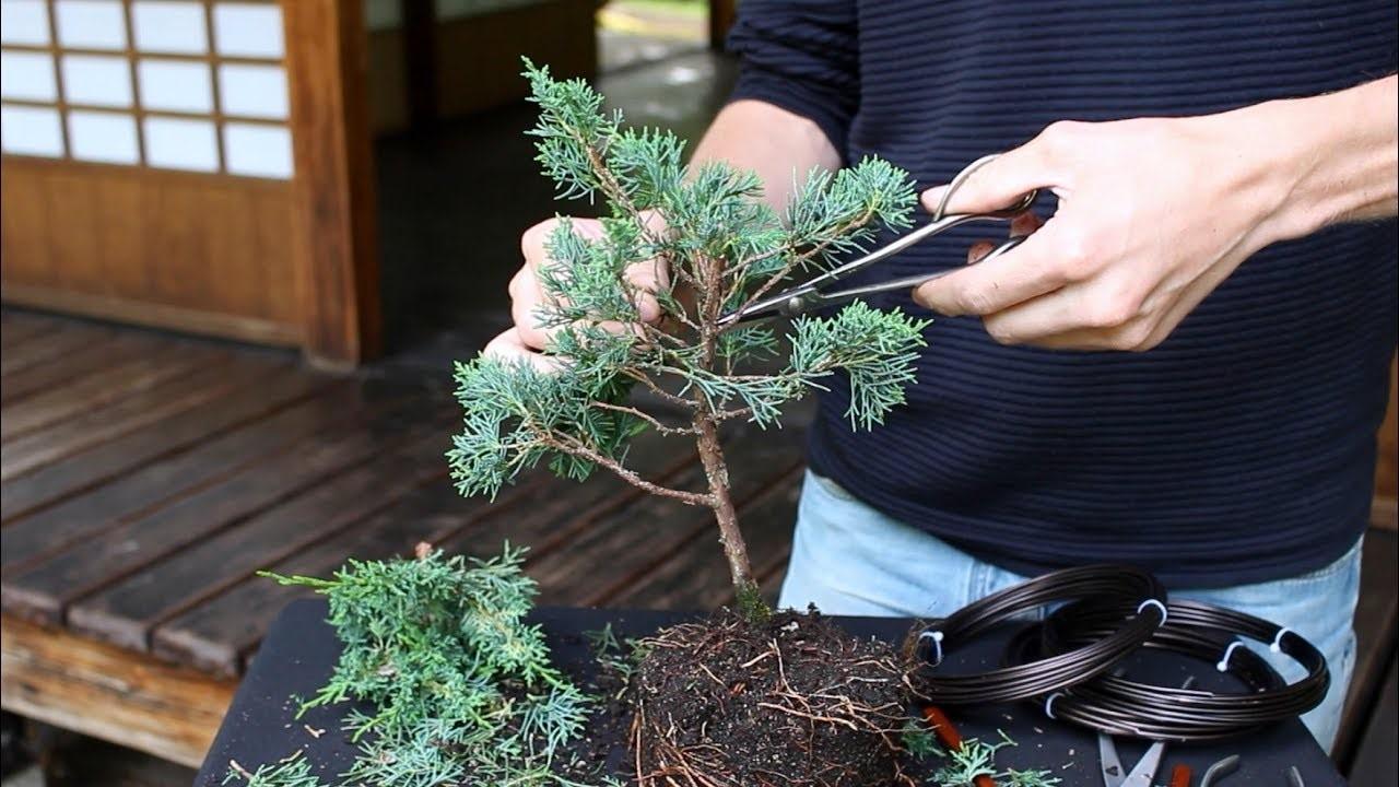 Ces techniques peuvent faire augmenter le prix d'un bonsaï.