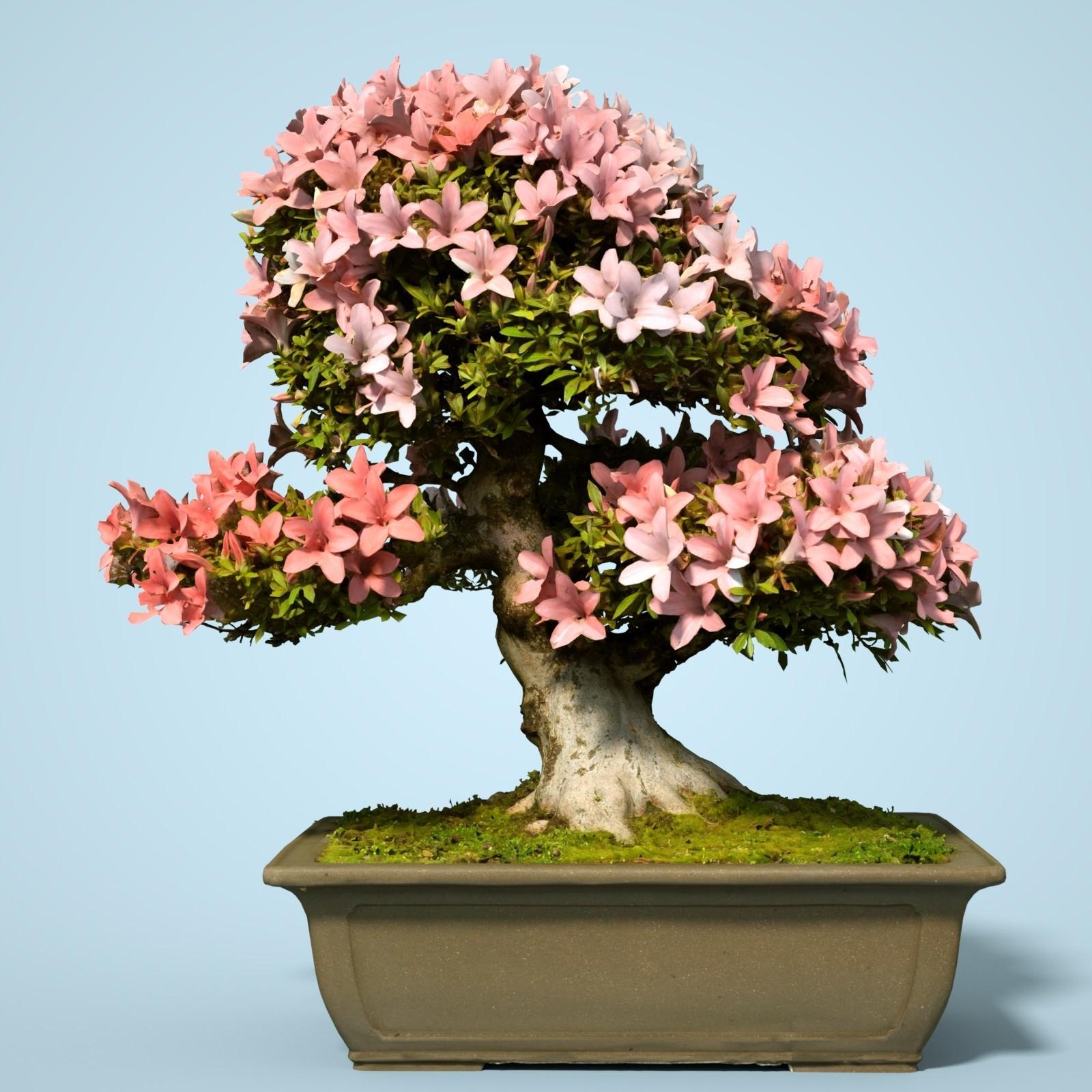 Le prix d'un bonsaï peut varier, tout comme la qualité de l'arbre que vous achetez.