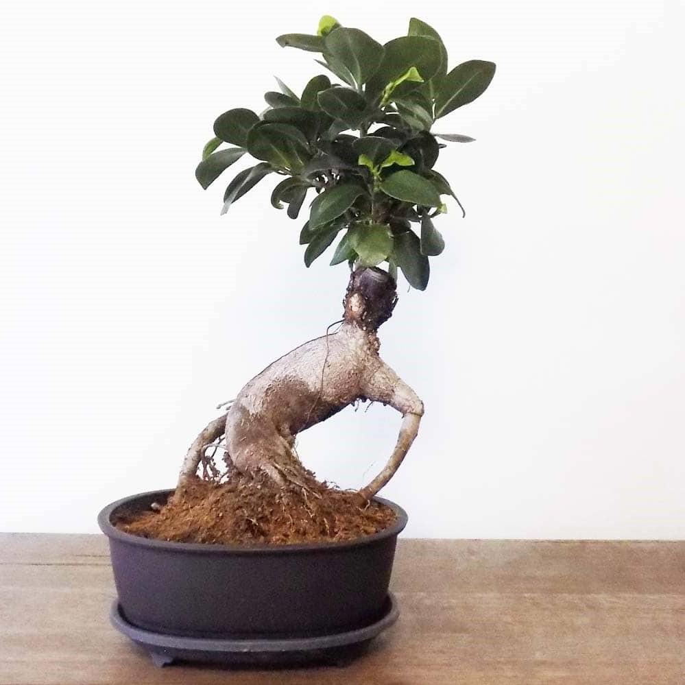 Le prix d'un bonsaï à croissance rapide n'est pas élevé.