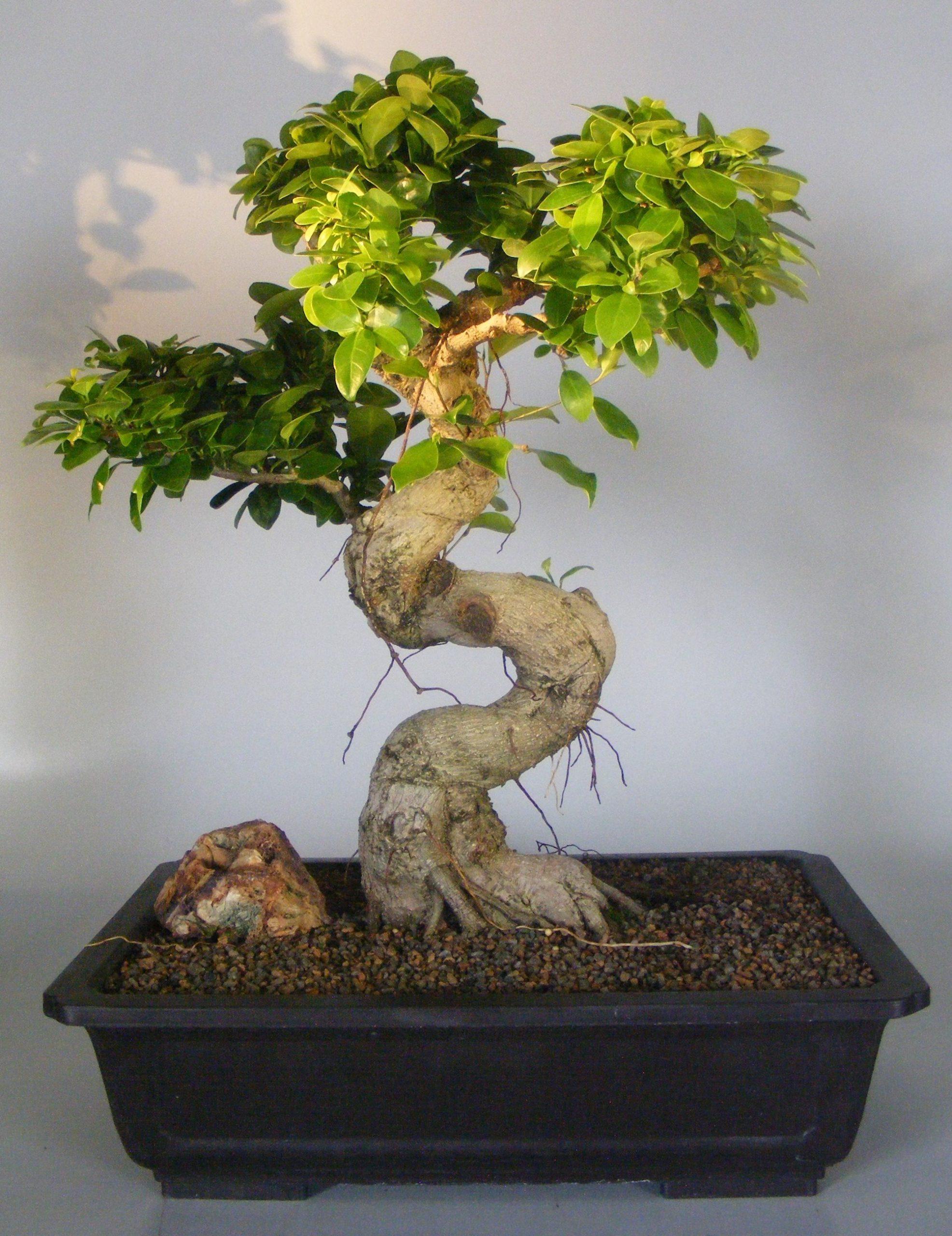 Comment prendre soin de l'arbre après l'achat du bonsaï?