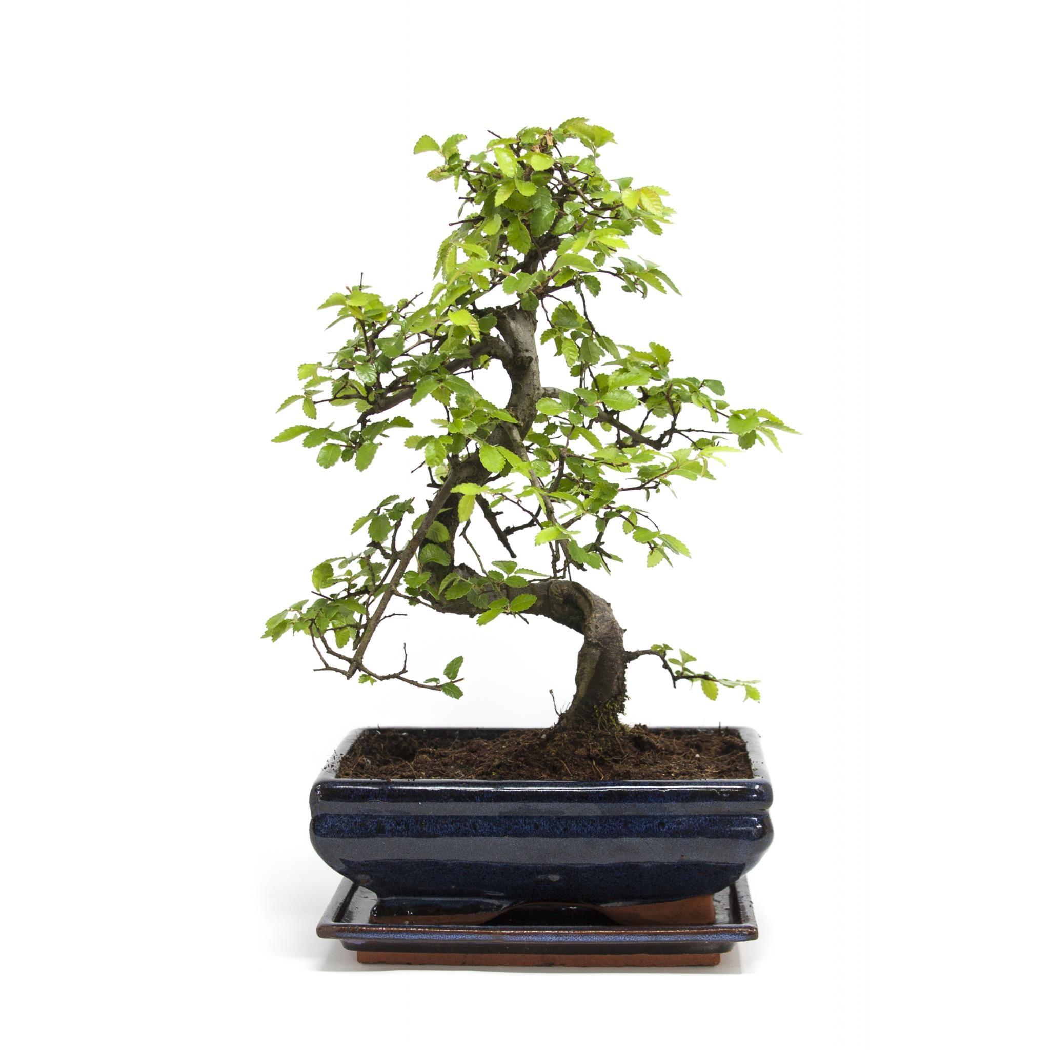 Les bonsaïs sont plantés dans de petits pots et ont donc un stockage limité pour les nutriments et l'eau.