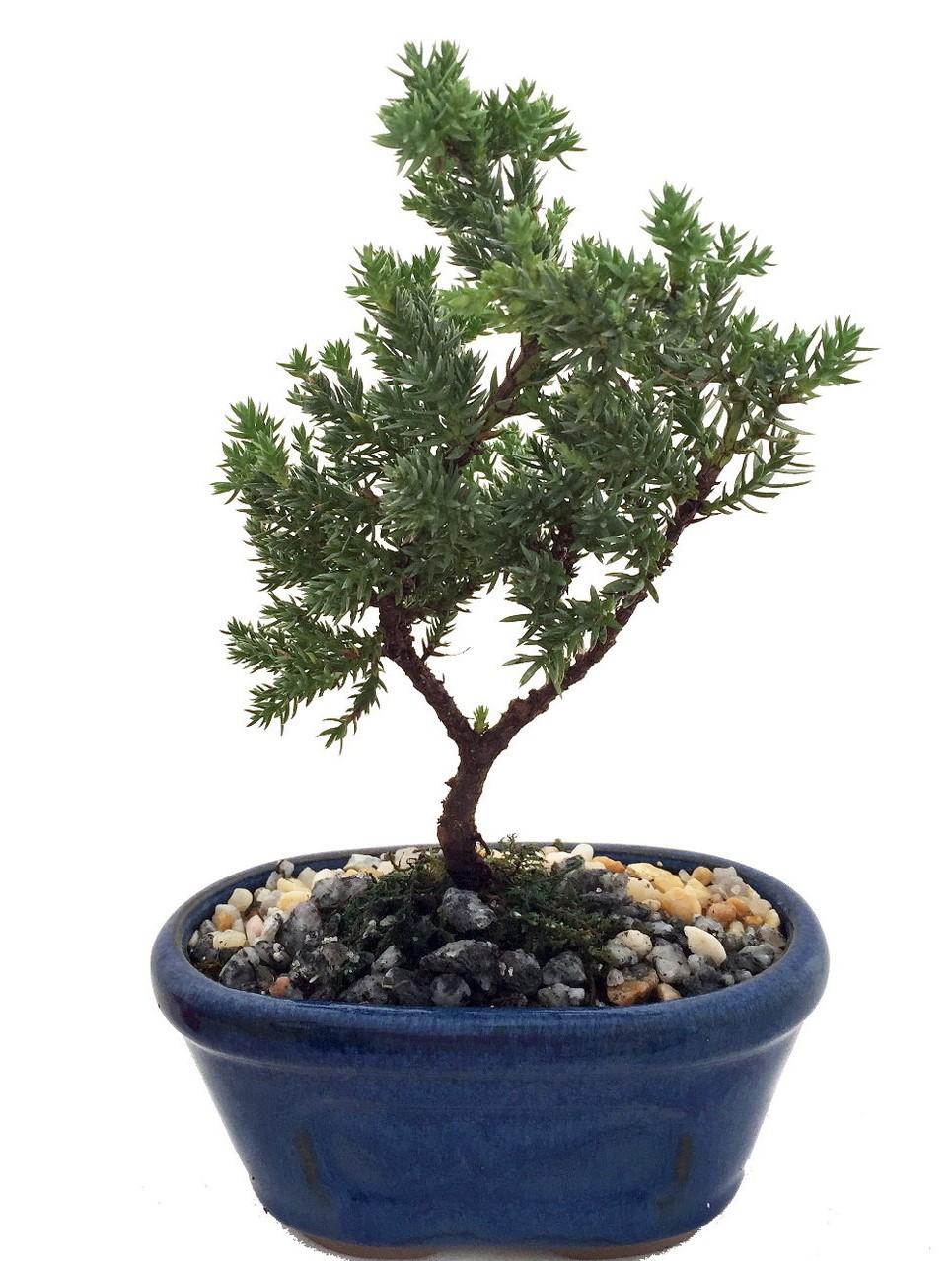 Par conséquent, assurez-vous de placer votre bonsaï dans un endroit lumineux, de préférence directement devant une fenêtre orientée au sud.