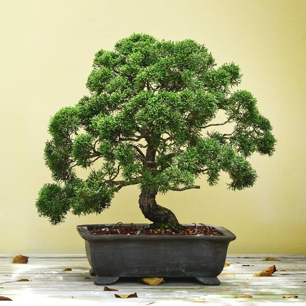Quels critères prendre en compte lors de l'achat d'un bonsaï?