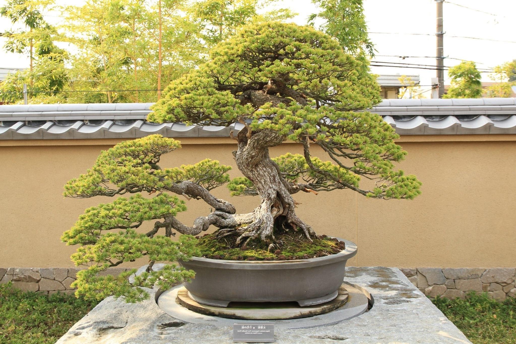 Un autre problème avec le maintien d'un arbre de bonsaï tropical à l'intérieur est que l'arbre a besoin d'une humidité relativement élevée.