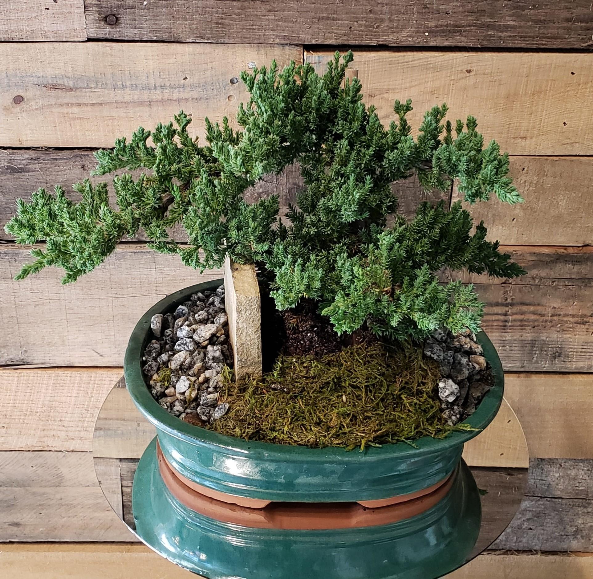 Achat de bonsaï: La règle la plus importante est; ne jamais arroser sur une routine.