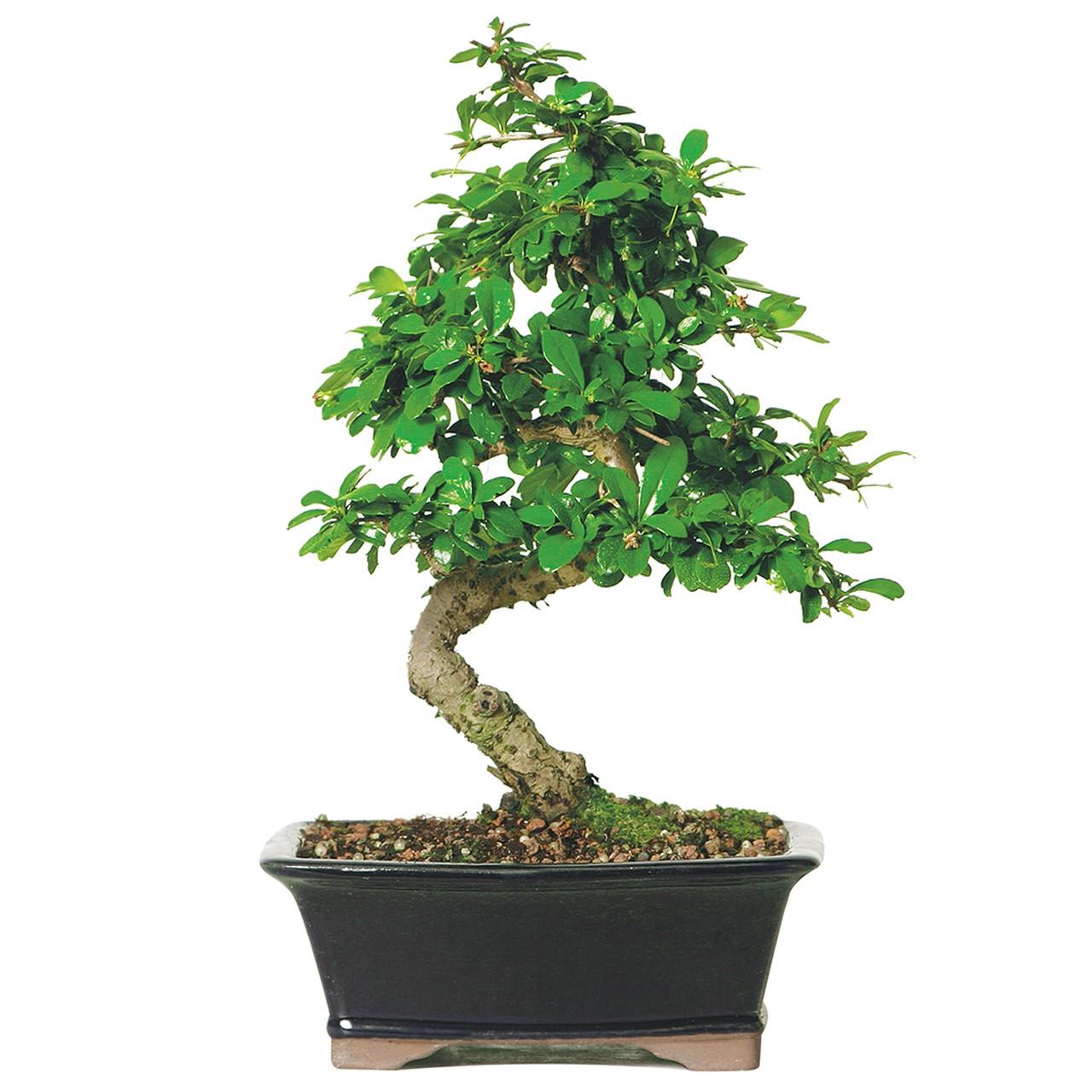 Une idée fausse commune à propos des bonsaïs est qu'ils doivent être conservés à l'intérieur.