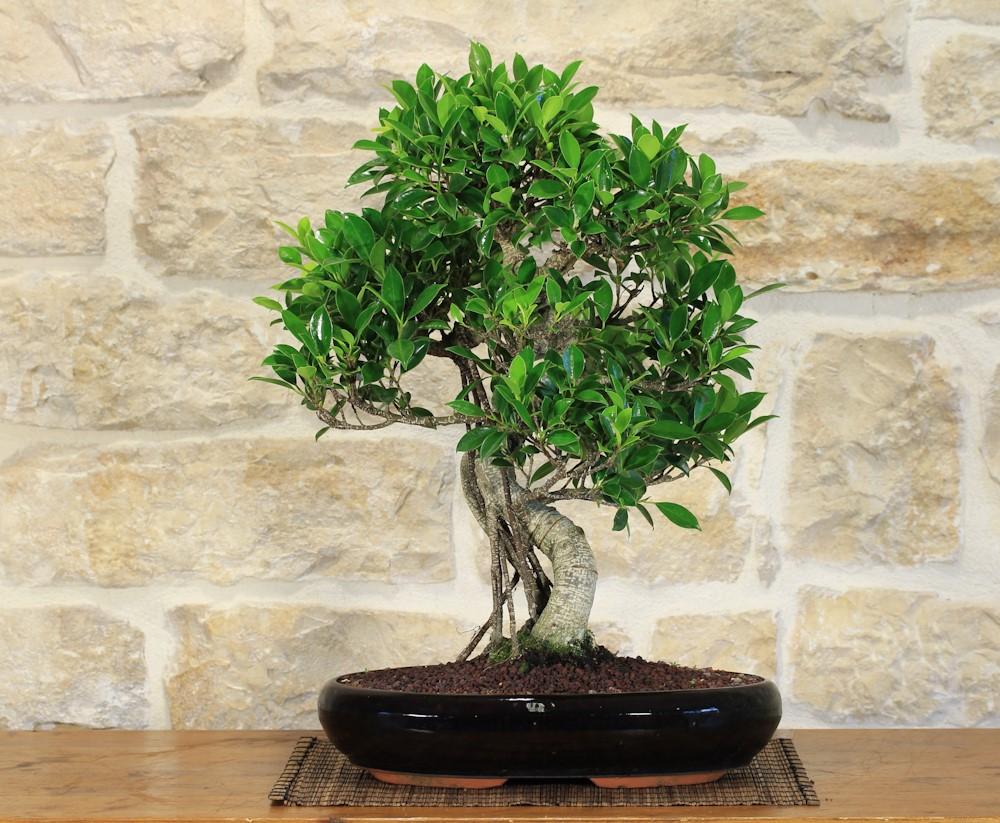 Les arbres tropicaux ont besoin de températures relativement élevées tout au long de l'année, similaires à la température ambiante standard de votre salon.