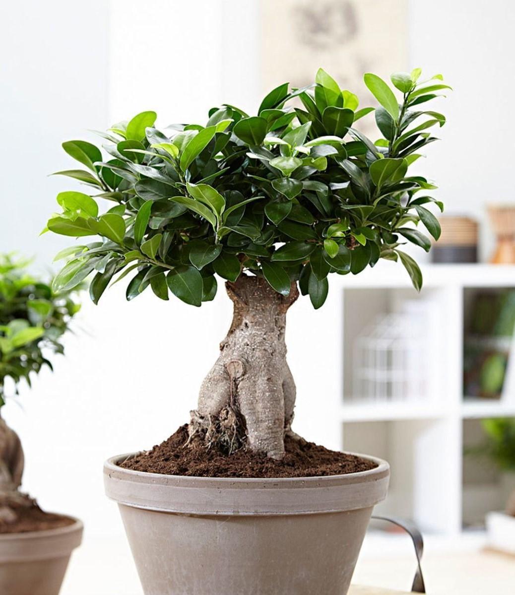 Achat de bonsaï: Utilisez vos doigts pour vérifier le sol à environ 1 cm de profondeur et ne laissez jamais un arbre sécher complètement!