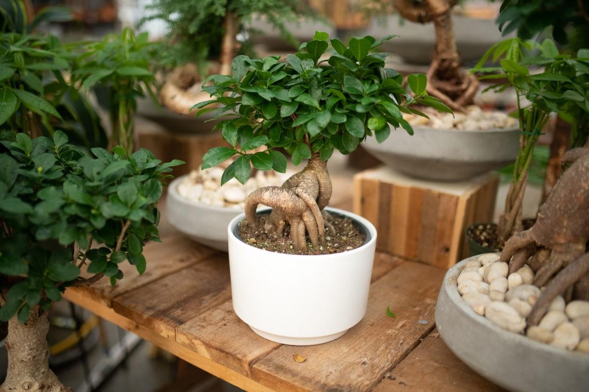 Achat de bonsaï: Le mélange de sol influence grandement la fréquence d'arrosage des arbres.