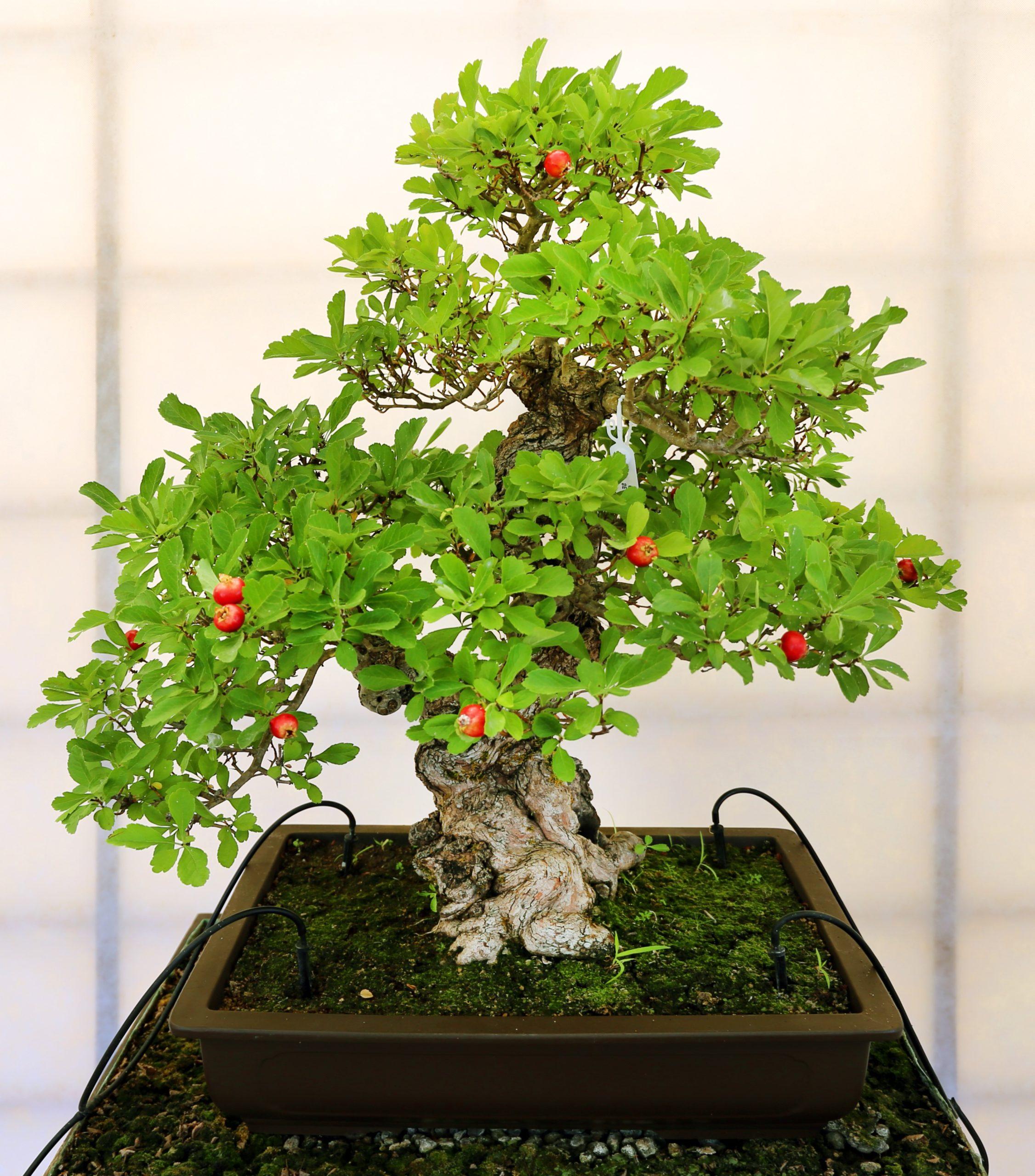 Achat de bonsaï: Le Ficus est tolérant à une faible humidité et peut supporter beaucoup; c'est un bon choix pour les débutants.