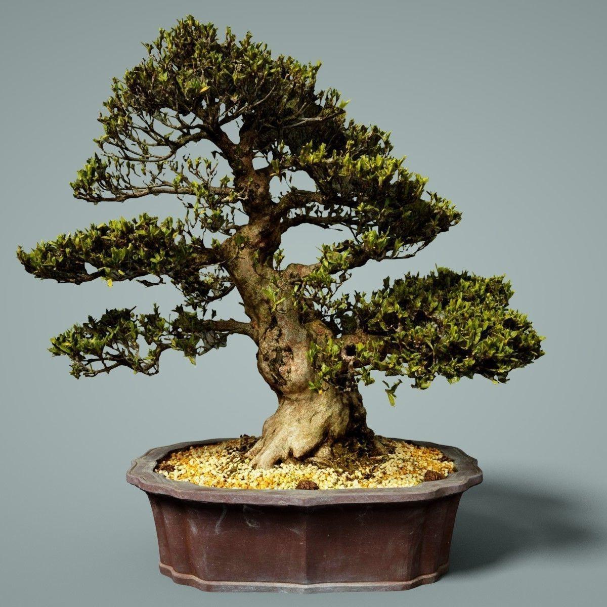 Achat de bonsaï: En hiver, le cycle de croissance annuel se termine et l'arbre se prépare pour le cycle suivant qui recommencera au début du printemps.