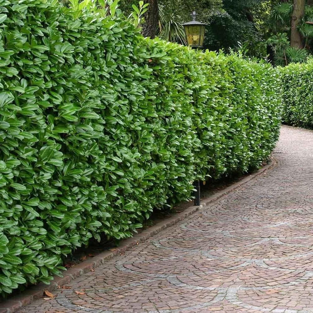 Une concentration de grands arbustes peut fonctionner comme un mur vivant.
